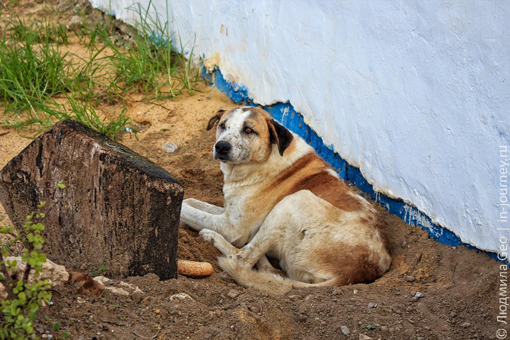 Тунисская собака