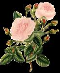 rosenrosa015.png