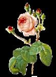 rosenrosa047.png