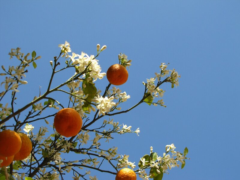 """Оригинал - Схема вышивки  """"Апельсинное дерево """" - Схемы автора  """"burova """" - Вышивка крестом."""