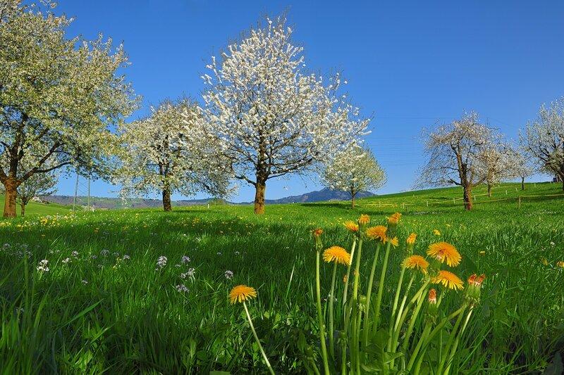 Когда яблони цветут ...