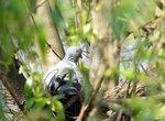 Лесной голубь (вяхирь) на гнезде