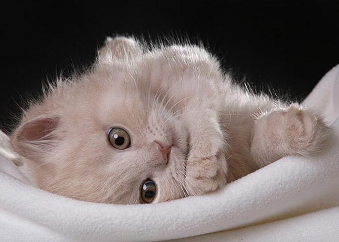 кошки - невинная кошка