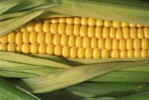 В Приморье запрещён ввоз в Россию более 50 тонн семян кукурузы