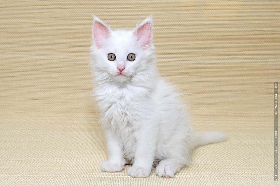 продажа котенок мейн кун белый из питомника в москве