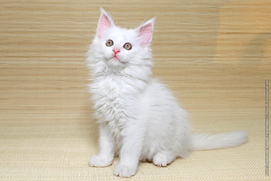 купить котенок мейн кун белый из питомника в москве