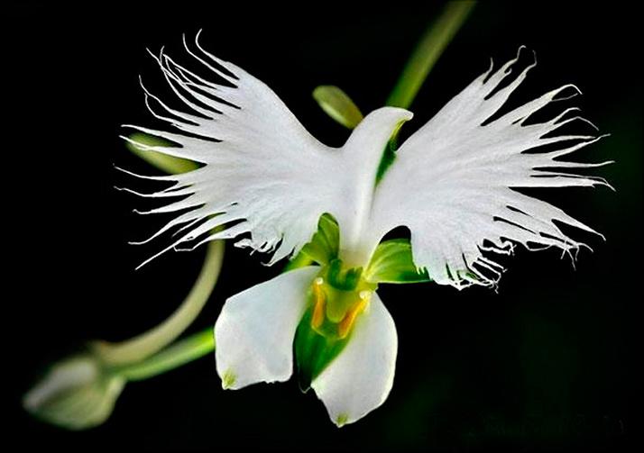 Удивительные орхидеи - Летящий голубь (Habenaria Radiata)