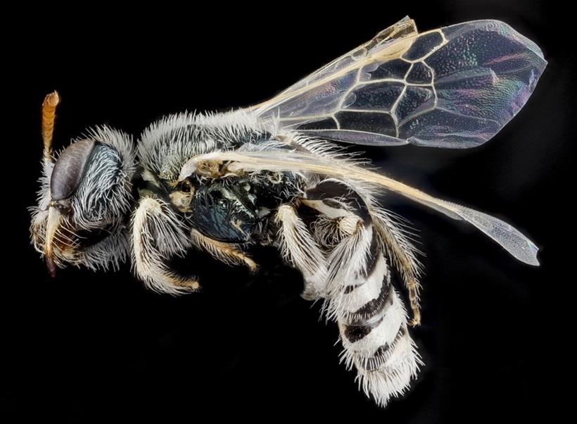 Макрофотографии разноцветных американских пчел 0 13d2a6 b00fcac6 orig
