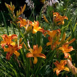 Лилейники в Саду Дракона летом 2011г 0_63784_452520e8_M