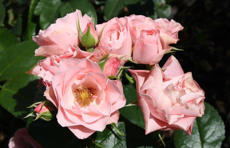 ���� ����� �� ����, ���������� (Bouquet de Mariee) Delbard �������, 2009