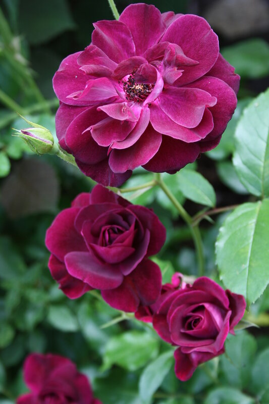 Роза Бургунди Айс, флорибунда ( Burgundy Ice)Edgar Norman Swane США, 1998
