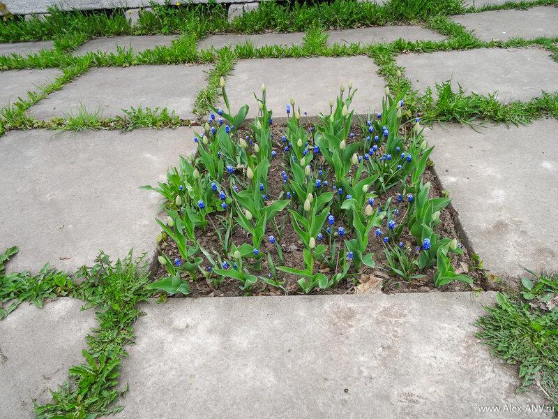 Синие цветочки уже расцвели, и тюльпаны тоже скоро раскроются.