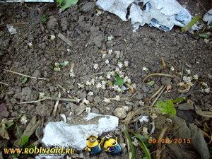 цветки смородины