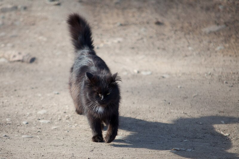 Местная кошка. (1)