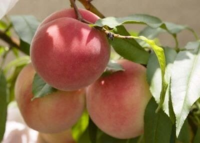 Диета на персиках