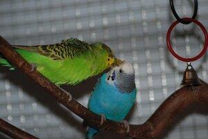 правила знакомства волнистых попугаев