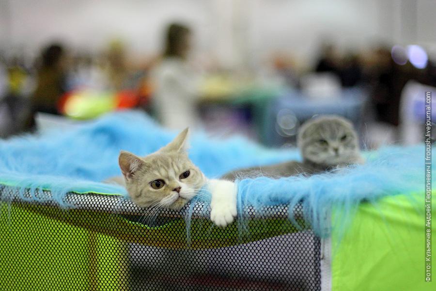 Котята. Скоттиш фолд и Скоттиш страйт