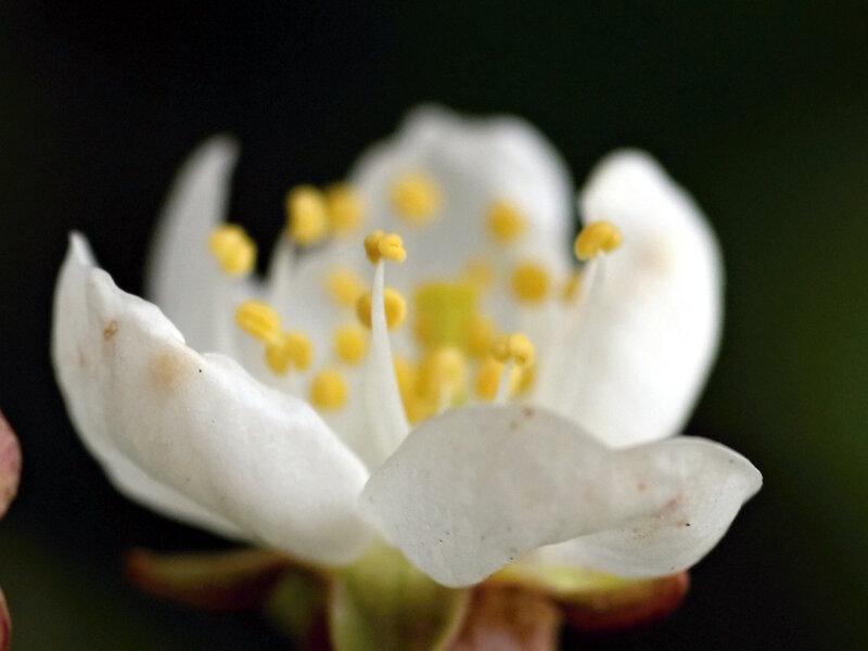вишнёвое цветение