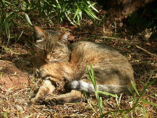 диких африканских кошек