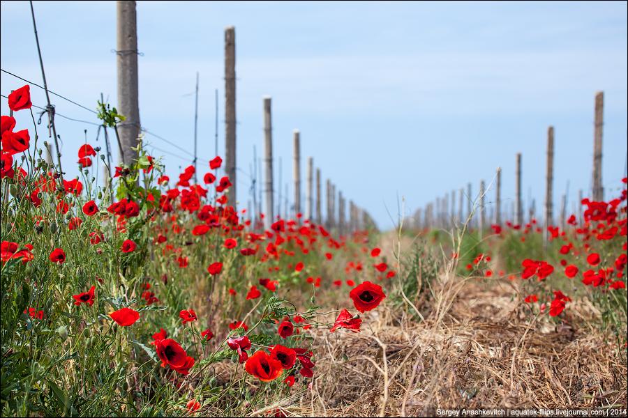 Шарлаховые виноградники