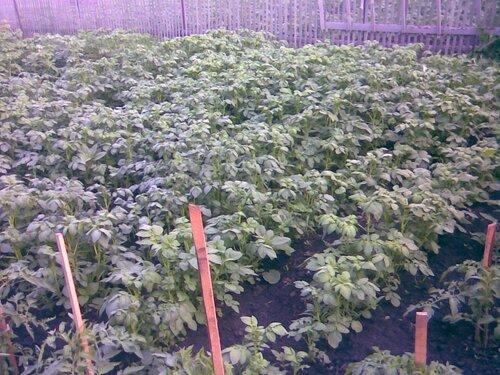 Как получить картофель из семян(бульбочек) 0_67e42_a42e699d_L