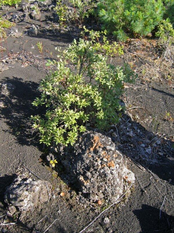 Ивовый стланник и вулканическая бомба