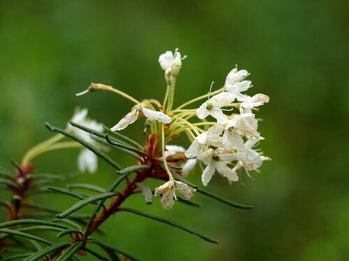 цветет багульник