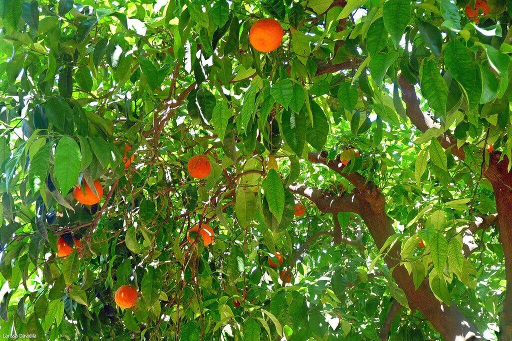 Апельсиновое дерево.