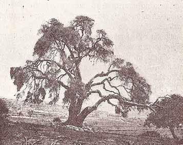Святая Земля,Хеврон,Мамврийский дуб