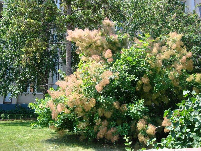 париковое дерево фото