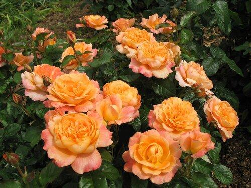 Роза чайно-гибридная Самаритан (Samaritan) Harkness 1991 Посадка 2009 года