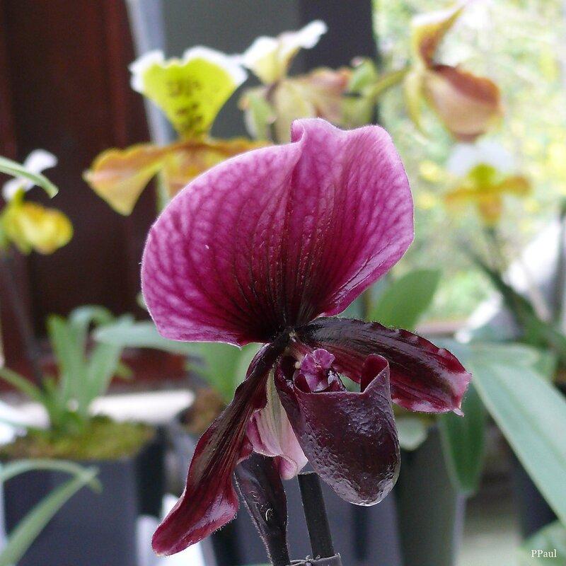 Орхидеи Койкенхофв