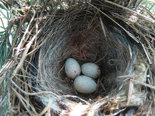 Гнездо и кладка Автор фото: Привалова Марина