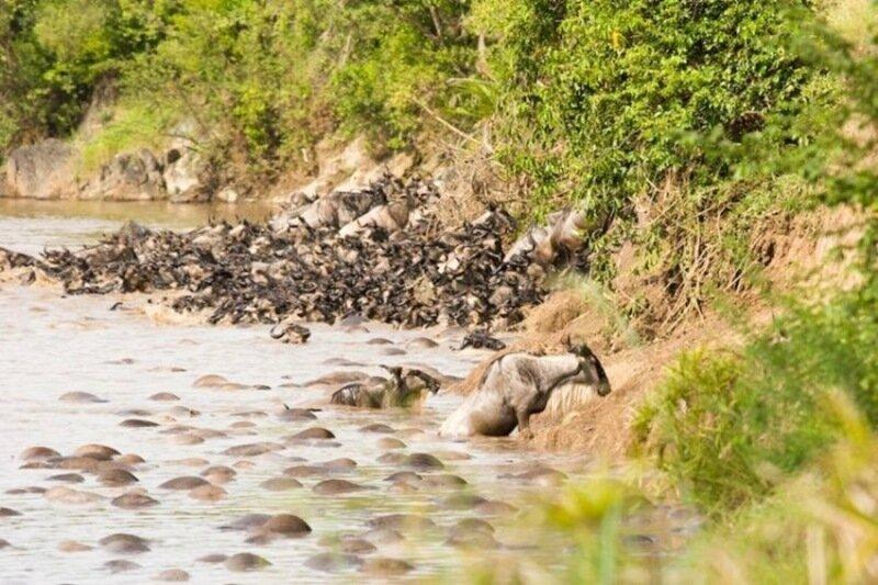 Миграция диких животных   фото