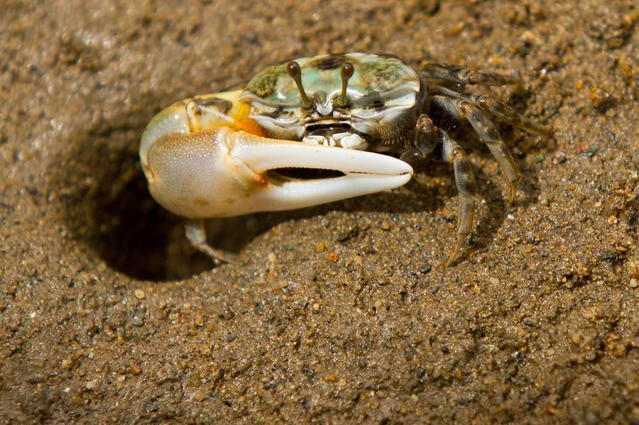 1. Манящий краб Одна из клешней самцов манящего краба отличается крупным размером. Это необходимо кр