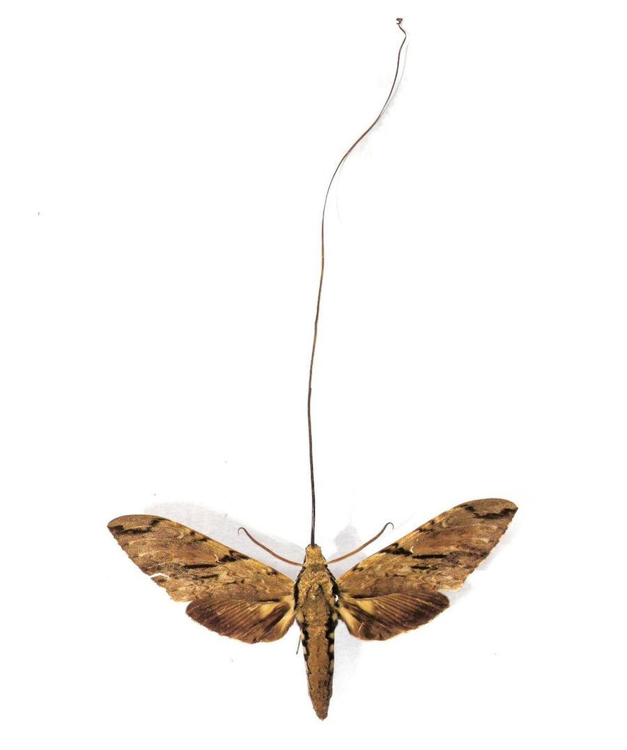 5. Мадагаскарский бражник Среди всего разнообразия бабочек этот вид выделяется длинным хоботком, дос