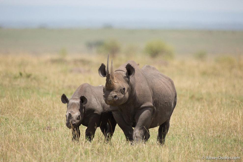 7. Виной всему браконьеры, которые убивают этих великанов ради их рогов.