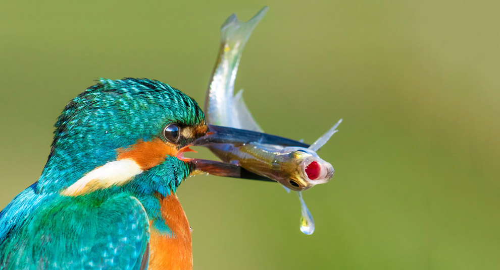 Попался. Зимородок поймал рыбу. (Фото Petar Sabol)