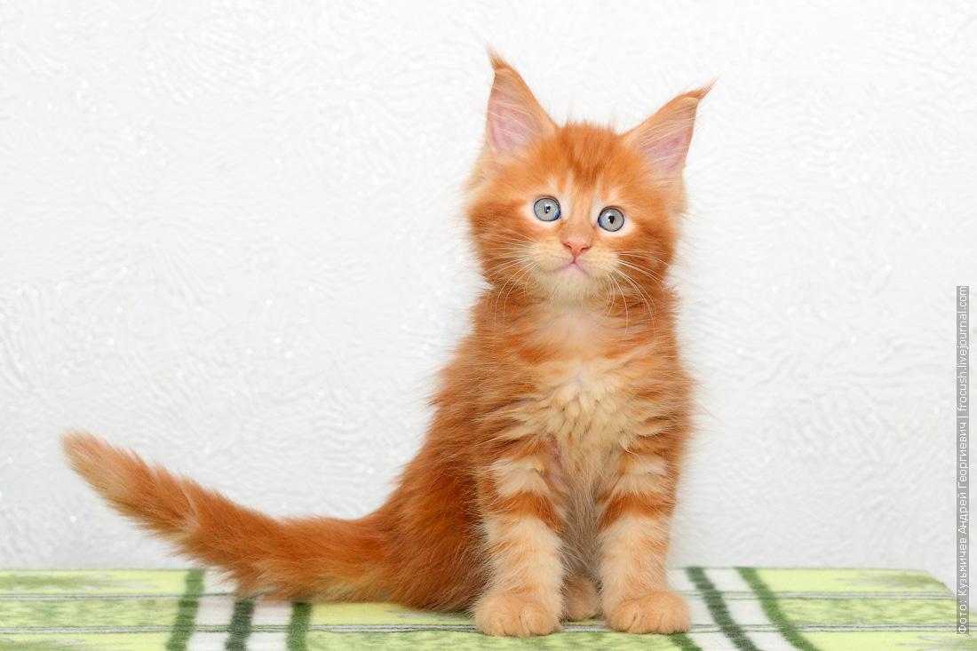 купить красный котенок Мейн-кун