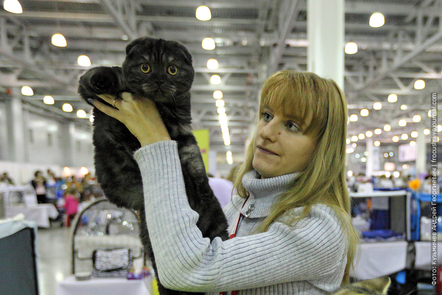 Кошка Ketti. Скоттиш фолд (Шотландская вислоухая)