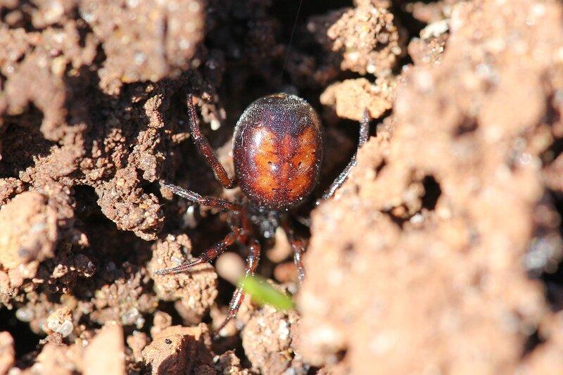 Тёмный паук с коричневым рисунком на спинке прячется в щели в земле