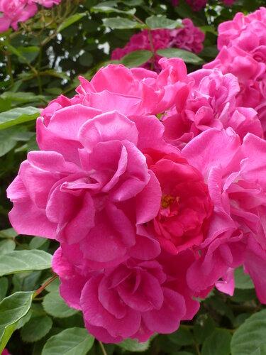 Розы, просто розы