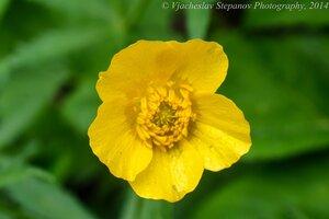 s:травянистые,c:желтые,околоцветник актиноморфный,лепестков 5