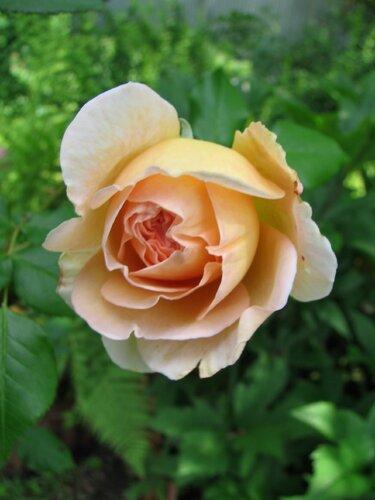 Роза Abraham Darby.JPG