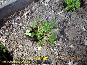 листовая петрушка