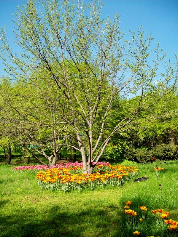 Тюльпаны под деревом Певческого поля
