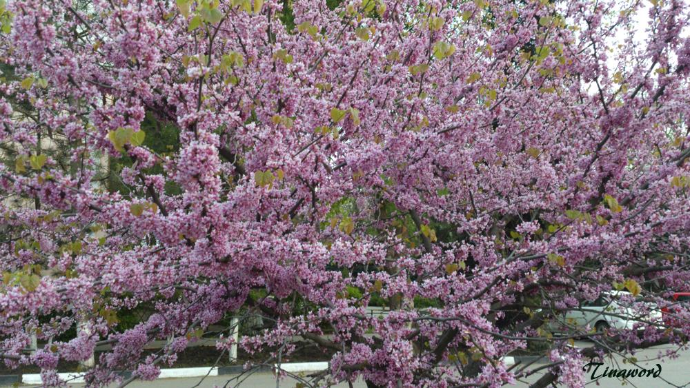 сакура цветет.jpg