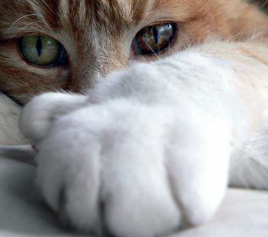 боссом почему кот лапой трогает мои глаза рисунок