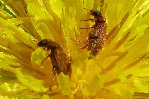 одуванчики, жуки1