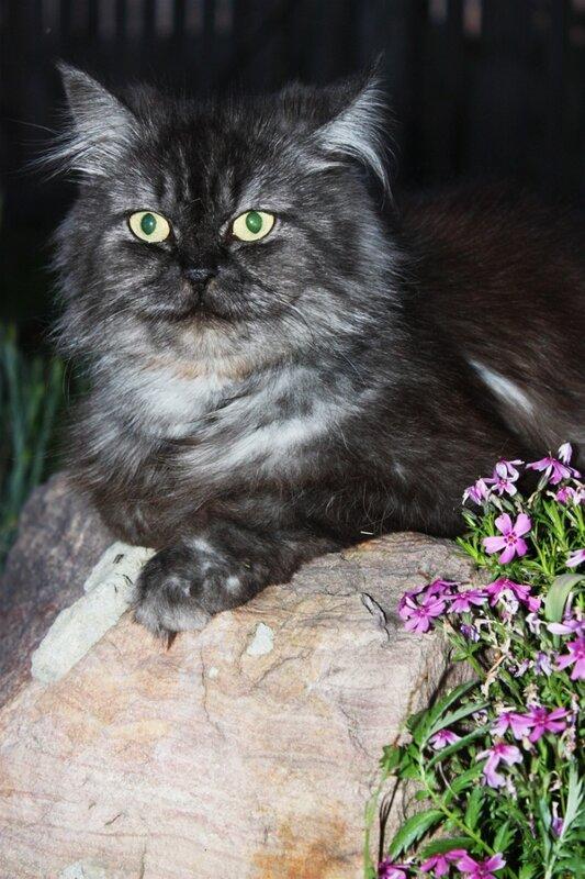 котэ, кошка, сибирская кошка, всемирный день кошек